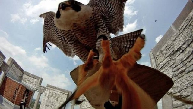 Mother Falcon Protects Her Kids From Ornithologists Who Wanted To Check Them