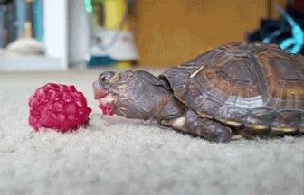 Tortoises Eating Fruit