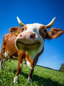 Facts About Cows