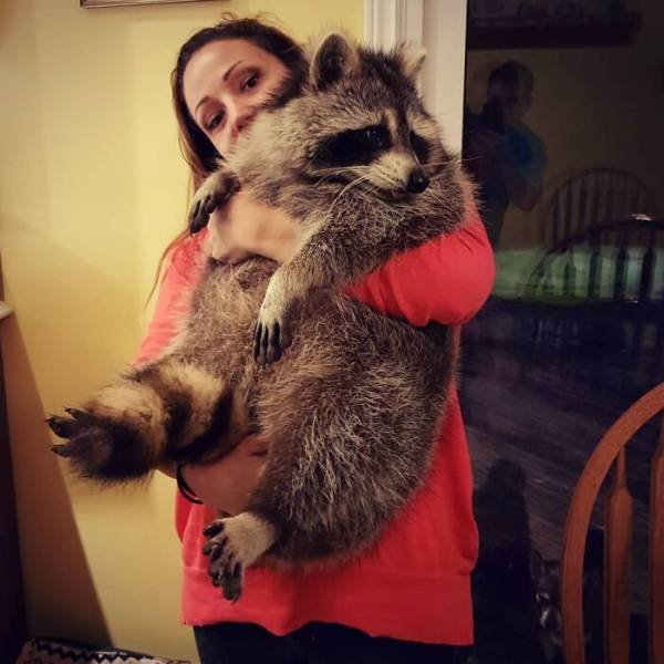 Raccoon Keeps Returning Back To The Family That Once Saved Him