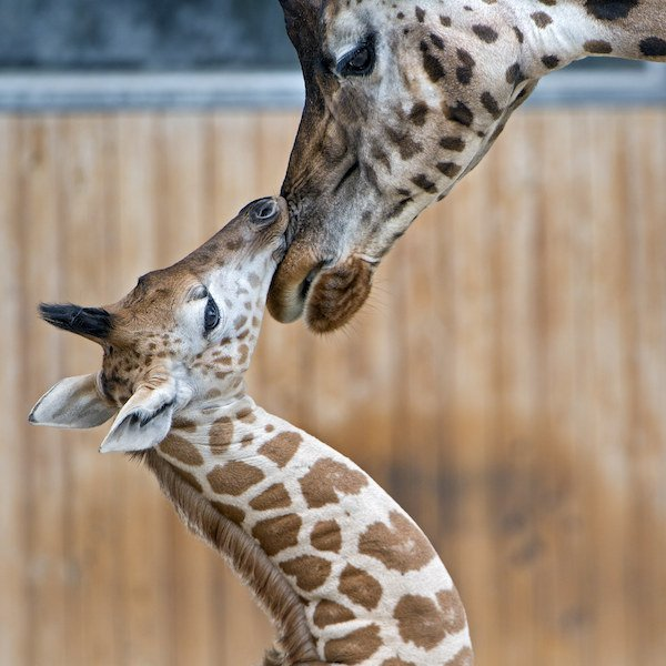 Baby Animal Facts