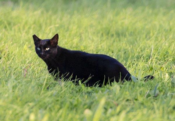 Black Cat Facts