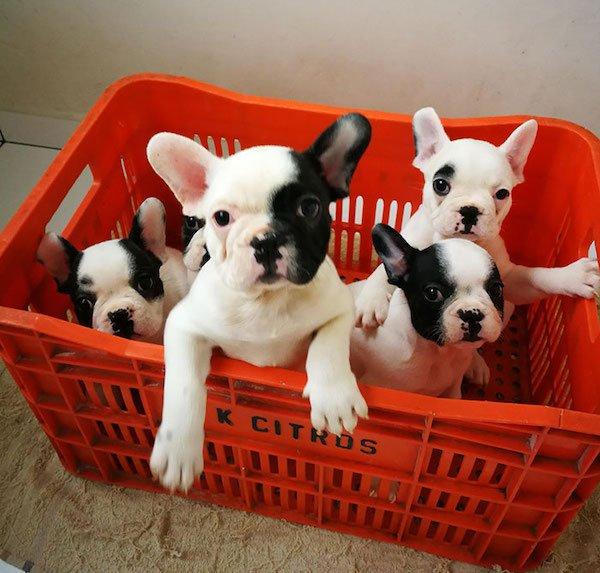 Cute Bulldogs