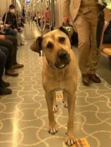 Dog That Uses Public Transport To Travel Around Istanbul